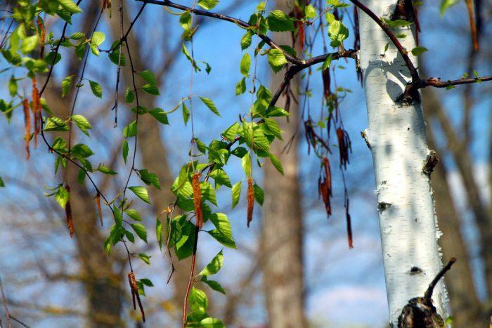 Береза всегда считалась деревом-оберегом