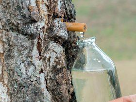 Есть разные способы сбора березового сока
