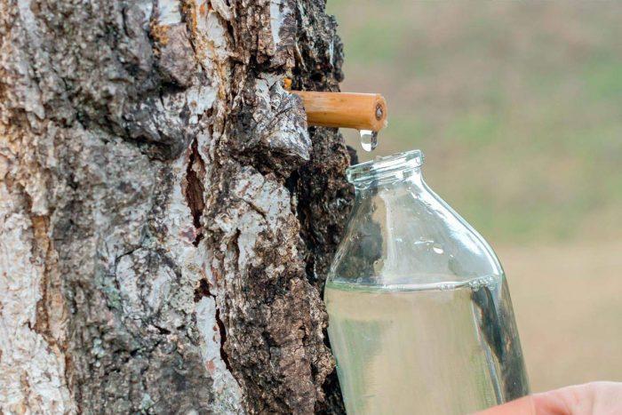 Есть старый способ сбора березового сока, которым пользуются и сегодня