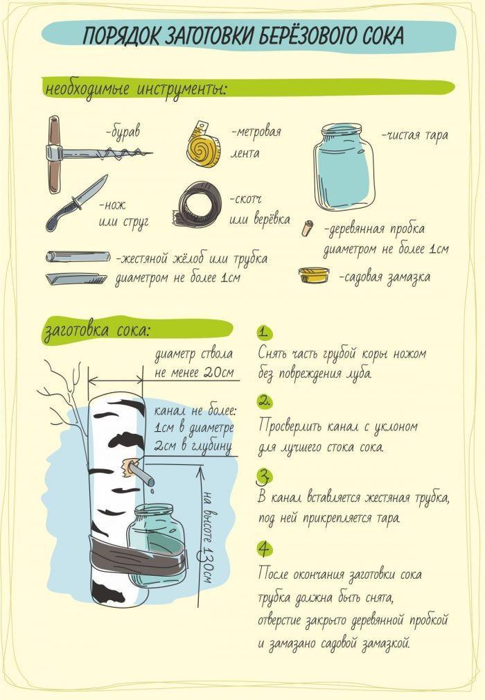Порядок заготовки березового сока