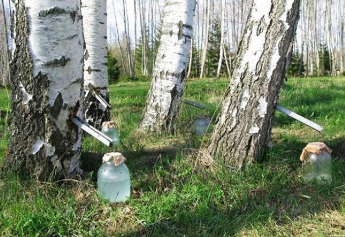 Реально получить огромное количество сока за один раз, но тогда дерево неминуемо погибнет
