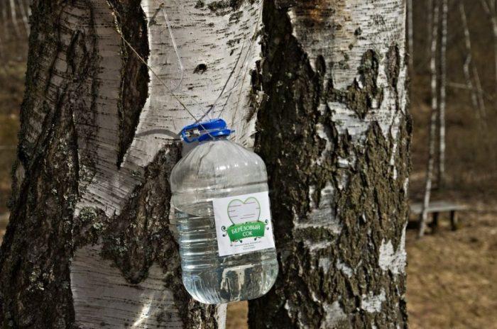 Важно аккуратно проделывать отверстие для получения березового сока, так, чтобы не навредить дереву