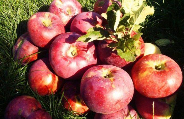 Апорт – один из самых крупных и популярных сортов яблок
