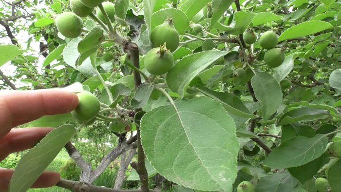 Чтобы ежегодно яблоня давала много плодов, рекомендуется провести процедуру нормирования