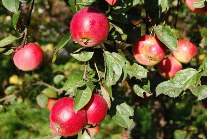 Если яблоня произрастает в условиях, подходящих для нее, прожить она может до 100 лет