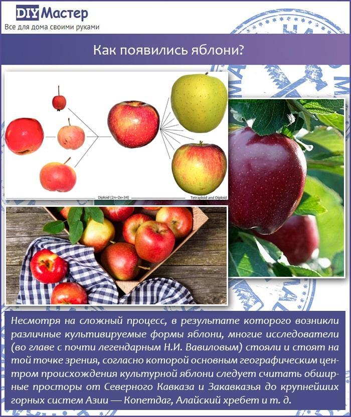Как появились яблони?