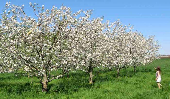 Как правило, яблони не вырастают выше 8 метров