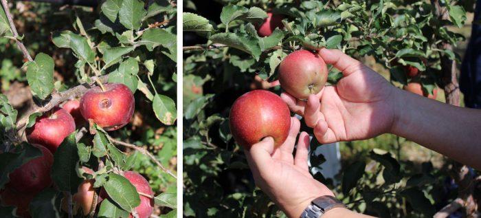 Как правило, яблоня начинает плодоносить с третьего года жизни