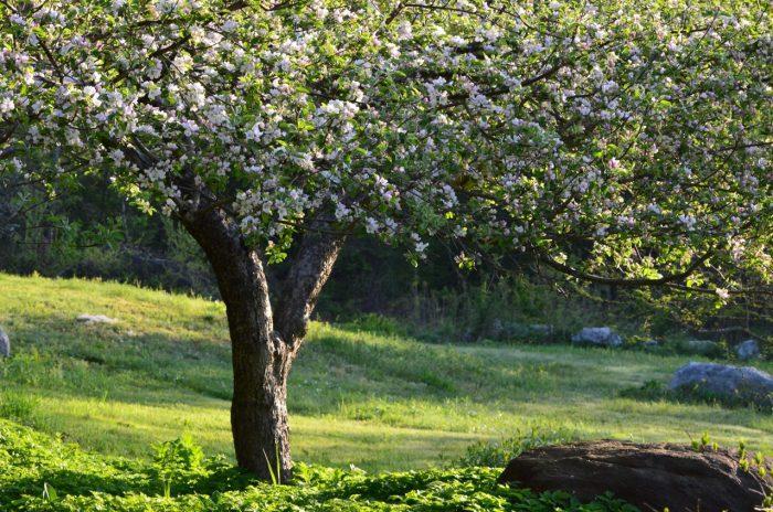 Когда дерево стареет, плодов оно дает меньше, его ветки усыхают