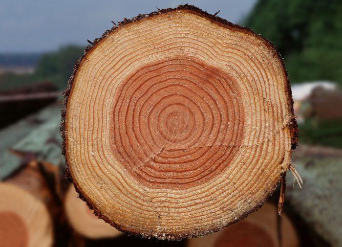 Можно рассмотреть кольца на спиле старой ветки дерева, чтобы определить возраст яблони