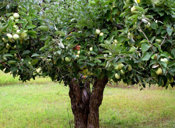 Неизвестно, когда именно появилась яблоня