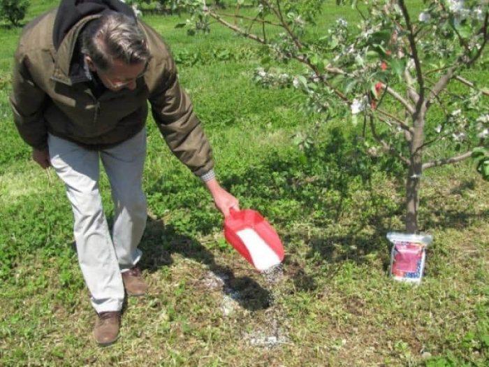 Обычно удобряют яблоню за сезон трижды