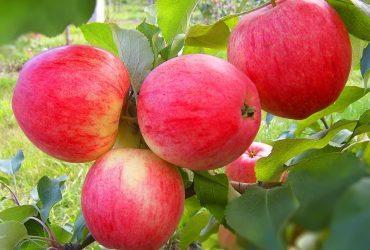 Сколько лет живет яблоня