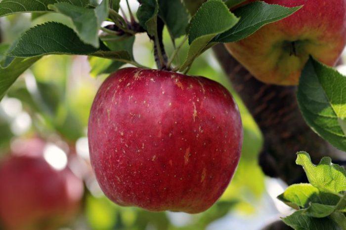 Урожай яблок каждый год