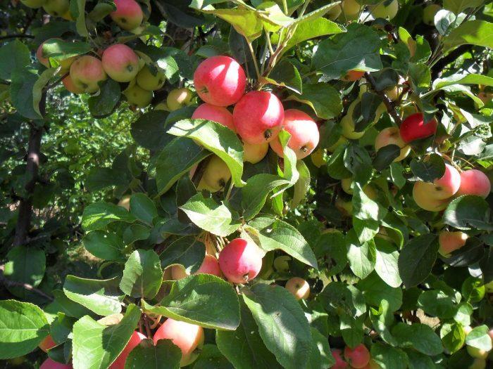 В первые годы жизни яблоня тратит все силы на формирование корней, ветвей, листьев, поэтому плоды она даст на 5-10 год