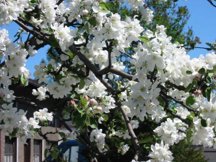 Выделяют три периода в жизни яблони
