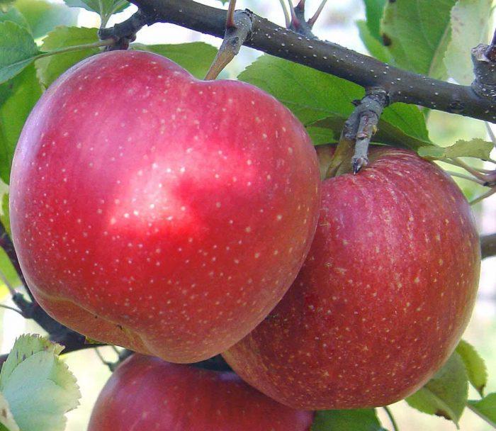 Яблоки сорта Гала долго хранятся, а деревья дают большой урожай
