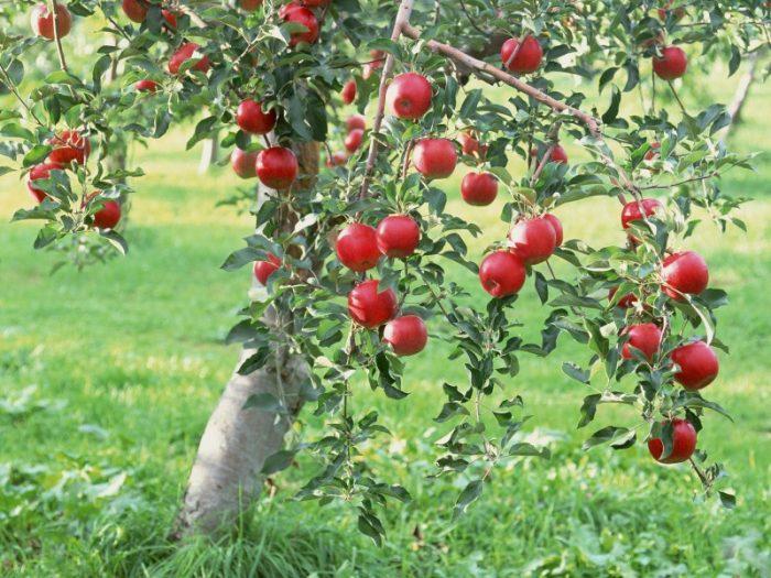 Яблони плодоносят уже на 5-8 год