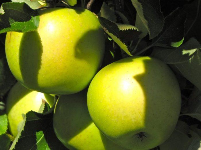 Яблоню Мутсу придется периодически обрабатывать от вредителей и болезней