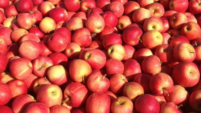 Яблоня сорта Джонатан не переносит низкие температуры