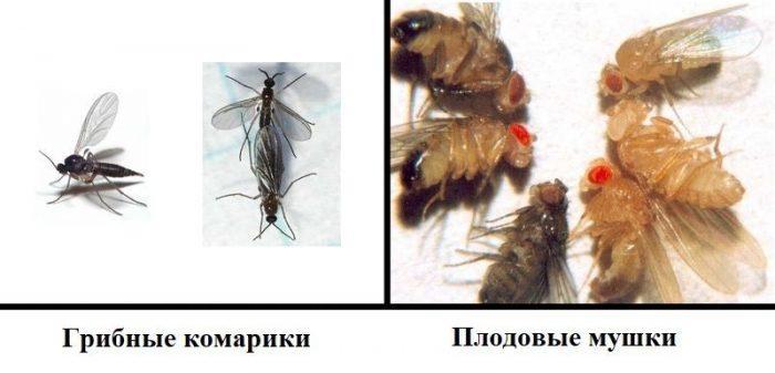 Грибные комарики и плодовые мушки