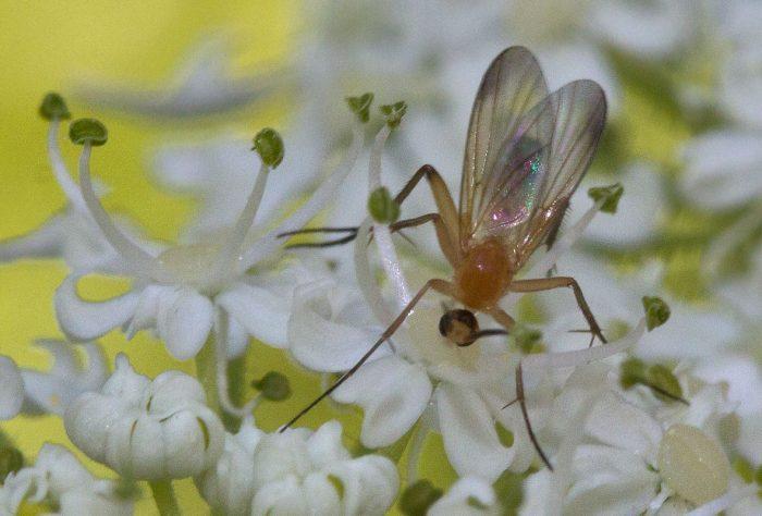Опасны также грибные комары, которые могут отложить яйца прямо в грунт, где растет рассада