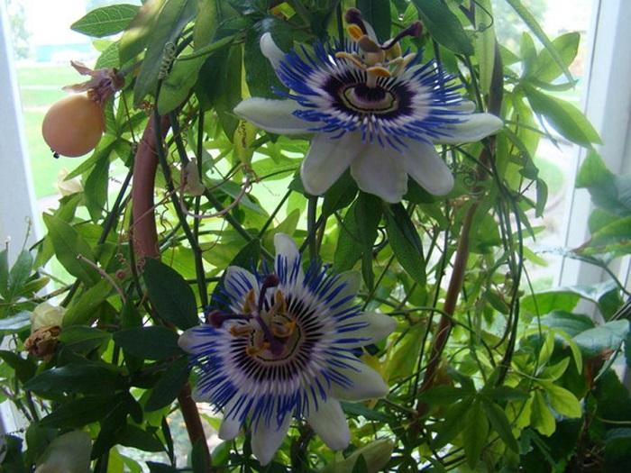 Чтобы получить плоды, цветки растения нужно опылить