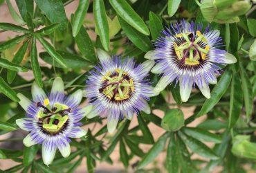 Пассифлора из семян в домашних условиях