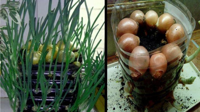 способы выращивания лука на подоконнике